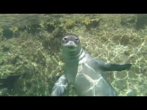 Hawaiian monk seal encounter at Midway Atoll (Reef Hotel)