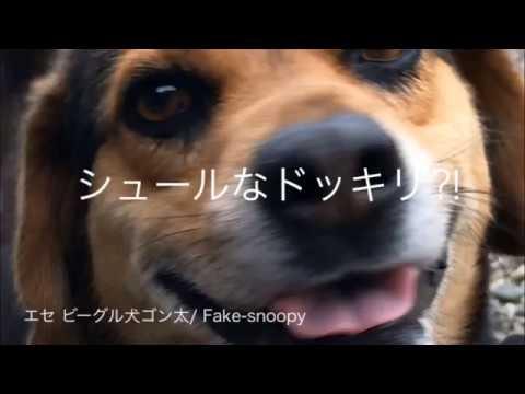 シュールなドッキリ⁈犬の愛情を試した結果/Surreal prank⁈ The dog 's love test result  【エセ ビーグル犬 ゴン太/Fake-snoopy GONTA】
