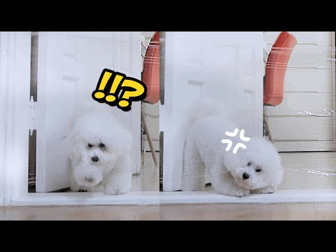 My Dog Reacts to the Invisible wall Challenge!