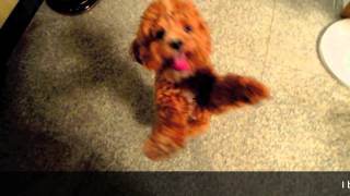 Jumping Poodle