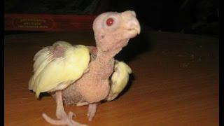 Птенец Кореллы. Первые часы после рождения(Смотрите супер видео о первых часах жизни птенчика кореллы. В этом видео я покажу как кормить новорожденног..., 2015-07-12T18:14:06.000Z)