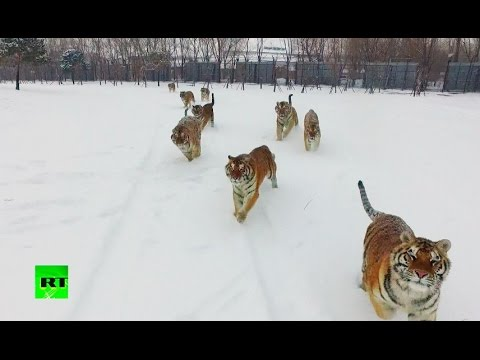 Tigers vs drone: Felines go wild chasing flying prey