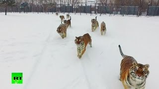 Tigers vs drone: Felines go wild chasing flying prey(The video was filmed in a Siberian tiger enclosure in China's Heilongjiang Province. The tigers, some of which look a bit overweight, have fun chasing the drone., 2017-02-23T17:06:08.000Z)