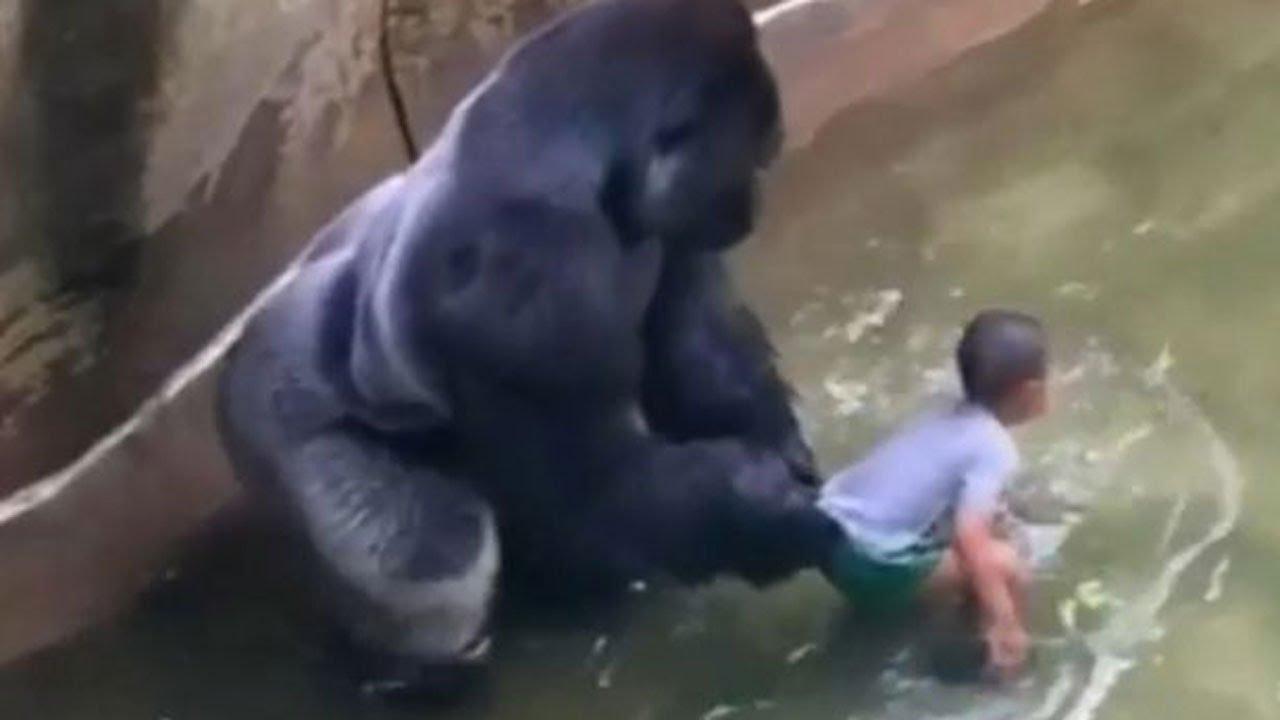 harambe the gorilla shot at cincinnati zoo after child falls into