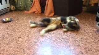 Трехцветный котенок из Зеленограда играет