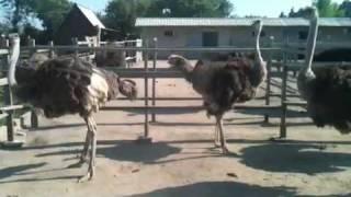 Самка страуса танцует