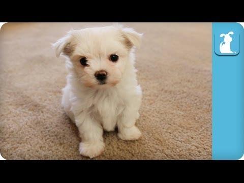 Precious Maltese Puppy Runs At The Camera - Puppy Love