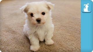 Precious Maltese Puppy Runs At The Camera  Puppy Love