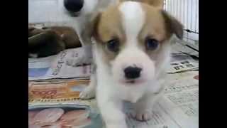 デザイン犬 パピコー 【愛犬ハウスセキノ】 http://www.ahs.co.jp/ をご...