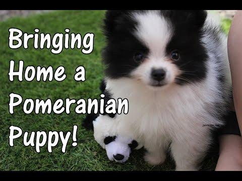 Bringing Home a Pomeranian Puppy (Panda Puppy Au Naturale Vlogmas Day 9)