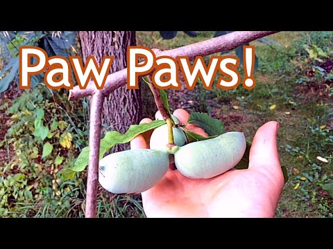 Paw Paw - Where we plant them in our landscape - YouTube