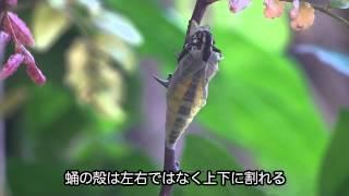 市街地でも多く見られるナミアゲハ。蛹から抜け出し、羽化するまでの等...