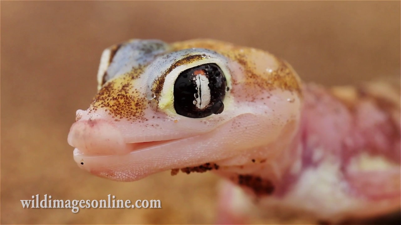 gecko lizard hd video youtube