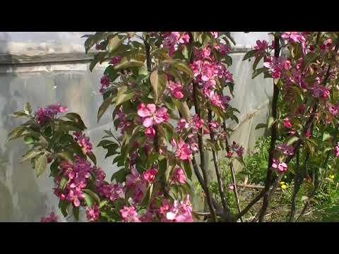 Красномякотная яблоня Tickled Pink (Baya Marisa), первое цветение