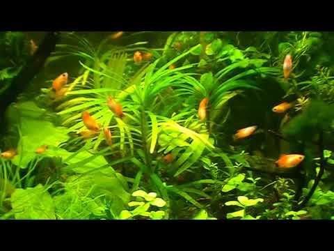 #Aquarium. Эйхорния лазоревая.