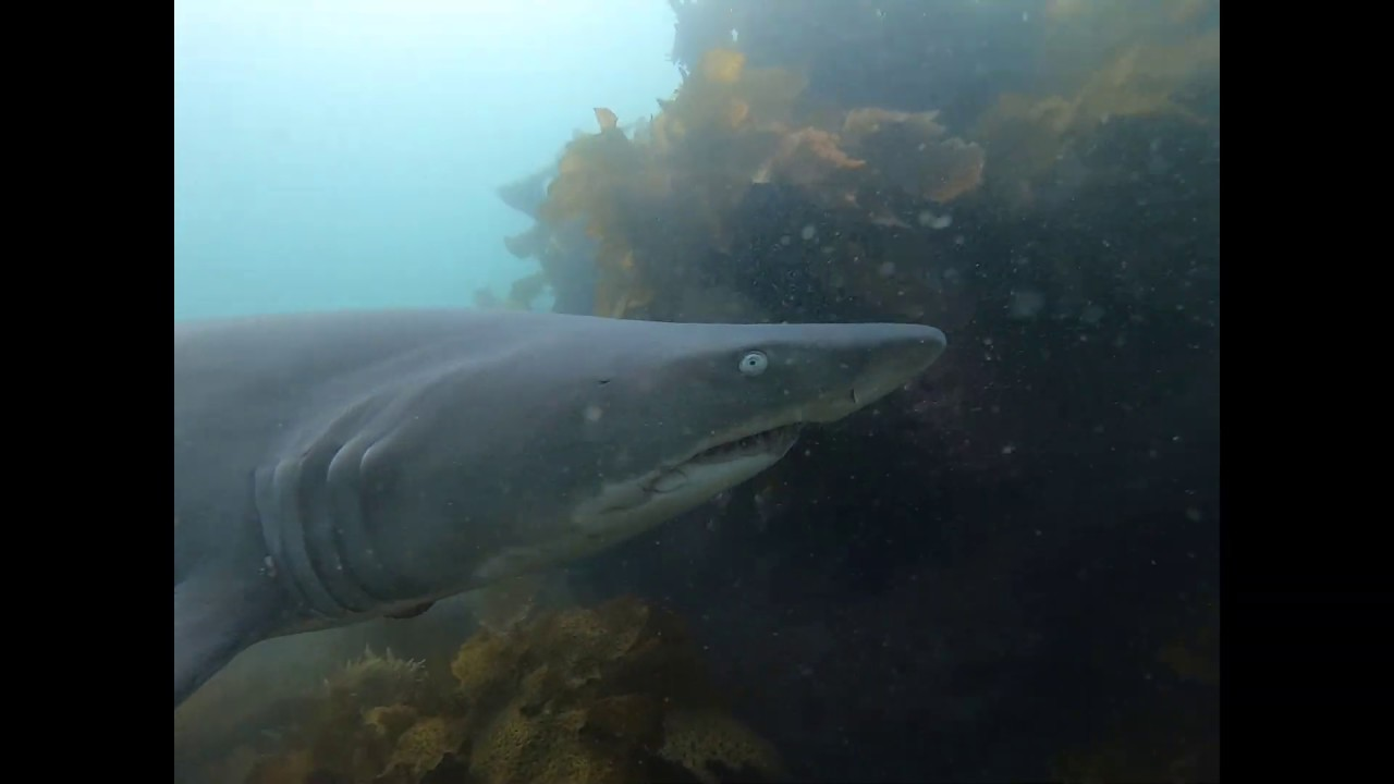 Snorkeling at Bushrangers Bay with Grey Nurse Sharks ...