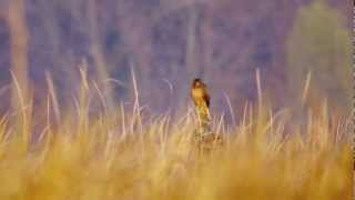 Northern Harrier # 2,  juvenile..Minnesota River Valley National Wildlife Refuge 10/21