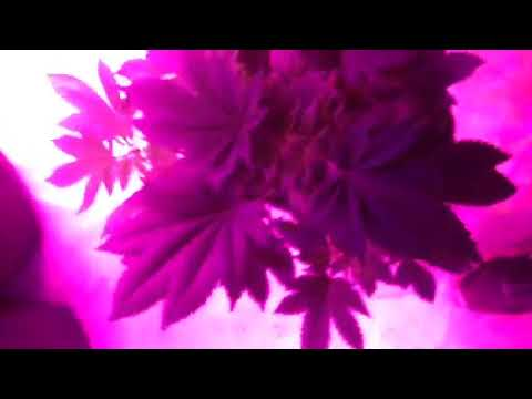 Colloidal silver spraying (day3) (by YoungHerbologist)