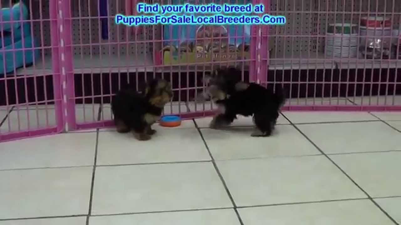 Yorkshire Terrier, Yorkie, Puppies For Sale, In Greenville ...