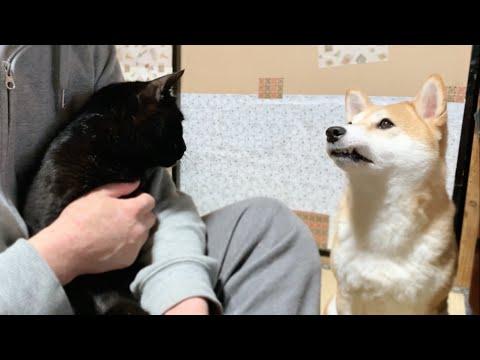 かまってほしい柴犬と空気を読んだ黒猫 Jealous Dog Want Attention
