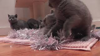 British Shorthair Kittens - Tapestrycats 2
