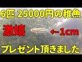 【ベタ熱帯魚】6匹25000円の稚魚をプレゼントしていただきました。