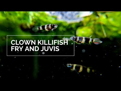 Clown Killifish Fry And Juveniles