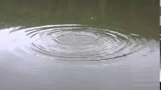 везучий короп(рибна ловля на озері в Собатині., 2014-08-29T13:31:21.000Z)