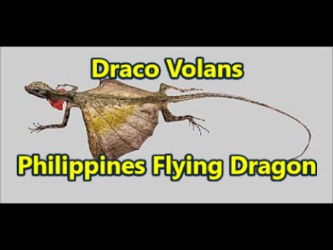 Draco Volans Philippines Flying Dragon