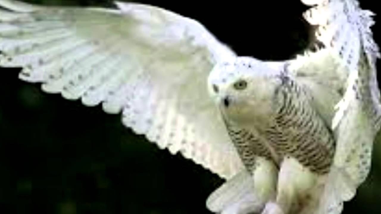 сова картинки белая