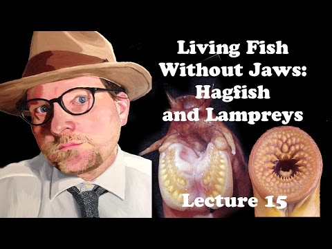 Lecture 15 Living Fish Without Jaws: Hagfish And Lampreys