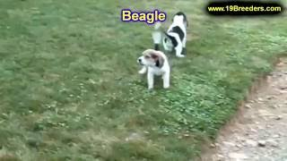 Beagle, Puppies, For, Sale, In, Springfield, Missouri, Mo, St  Charles, St  Joseph, O'fallon, Lee's