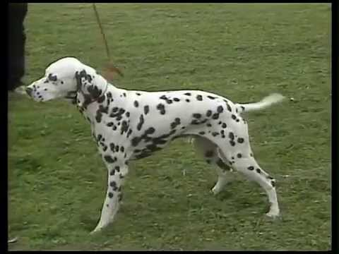 Dalmatian - AKC Dog Breed Series