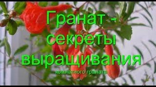 Гранат Уход  подготовка к  цветению и  плодоношению Формировка граната Punica  советы