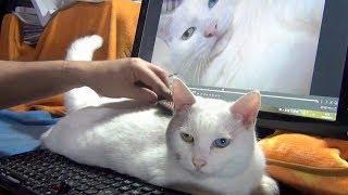 「ブラッシング気持ちいいニャ♪」取れた毛玉で遊ぶ白猫ユキ thumbnail
