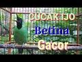 Cucak Ijo Betina Gacor Full Isian Terbukti Buat Pancingan  Mp3 - Mp4 Download