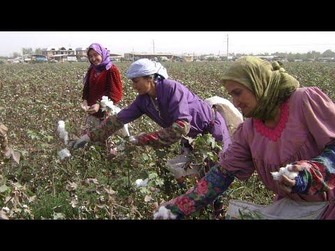 В Таджикистане начался сбор хлопка