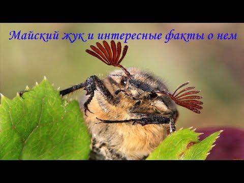 Майский жук и интересные факты о нем