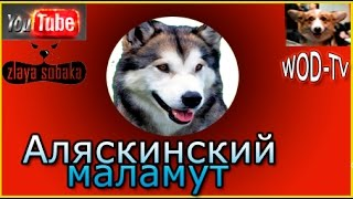 Аляскинский маламут - Ну очень не доволен!