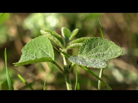 No Till Soybeans For Whitetails