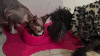 Sphynx Cat Beats Up Dog Over Cat Food