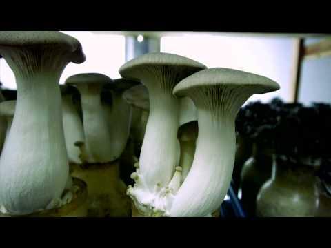 Видео Viabilidade e produçao dos inoculos de cogumelo shitake