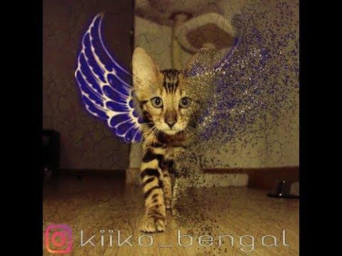 The real Bengal cats - kiiko&bella