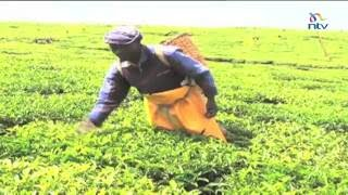 Kenyan tea farmers to earn record amount from cash crop
