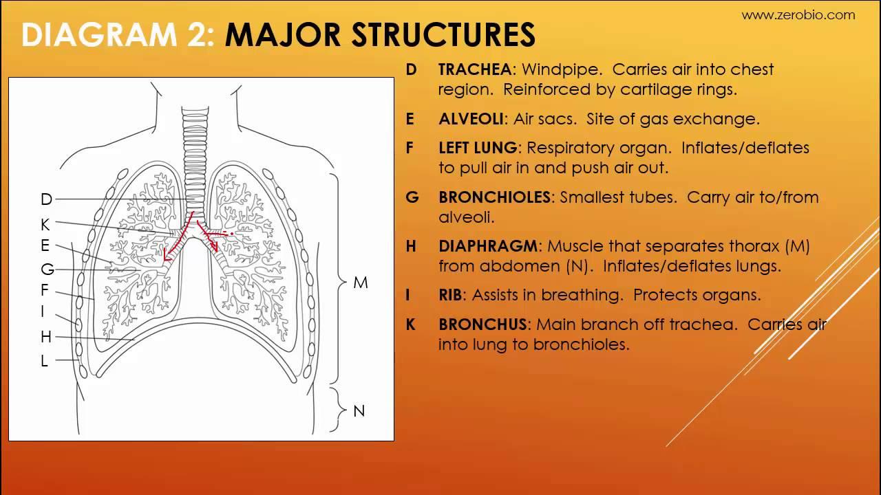 Gr 11 Respiratory System  Science Tutorial Video