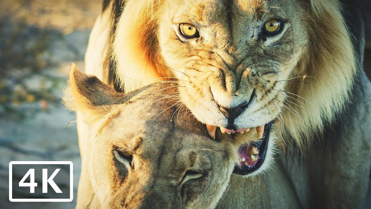 Download Lions Mating - 4K African wildlife video, wild animals on safari