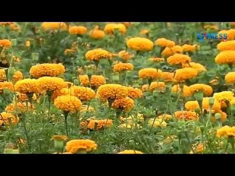 Marigold Flower Farming Success story of Guntur Farmer | Paadi Pantalu