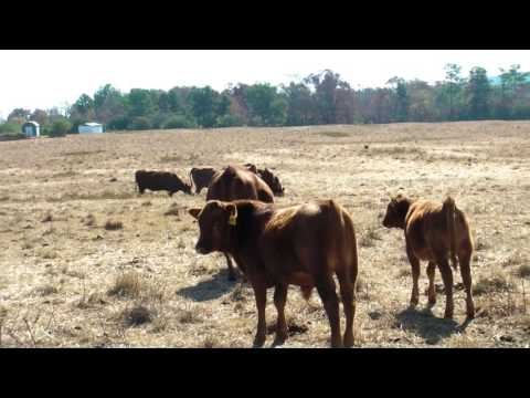 Teddy Gentry- Creator of South Poll Cattle