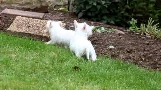 West Highland Terrier Puppies For Sale Mary Ann Speicher