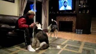 The Jealousy Twins - Siberian Huskies